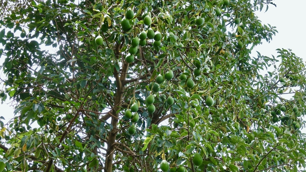 How To Grow Avocado Trees Top Tips For Success