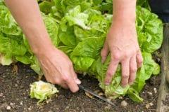 how-to-harvest-lettuce