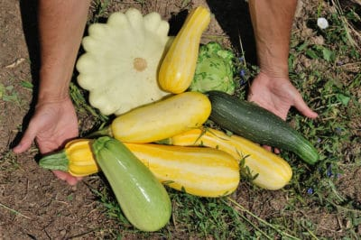 how-to-pick-squash