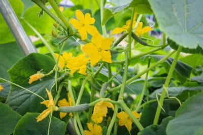 how-to-pollinate-cucumbers