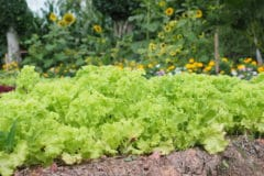 lettuce-companion-plants