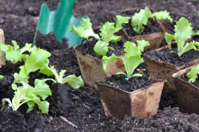 lettuce-seedlings