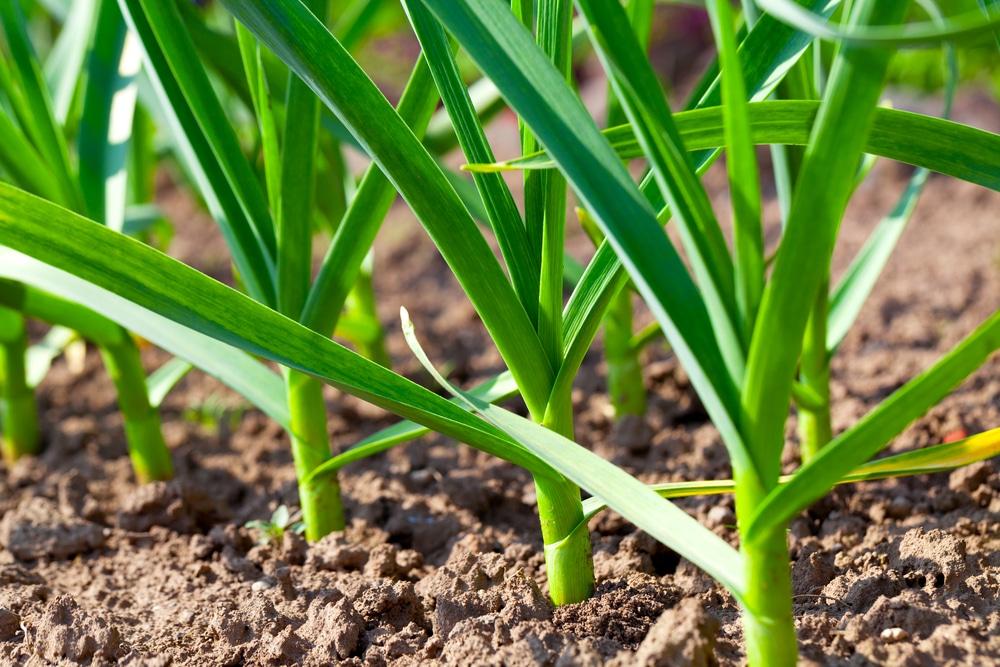 Long Take Garlic Grow