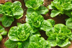 Lettuce sprouts bringing up babies the right way for How much sun does a garden need