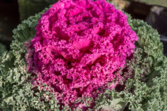 ornamental-kale-edible