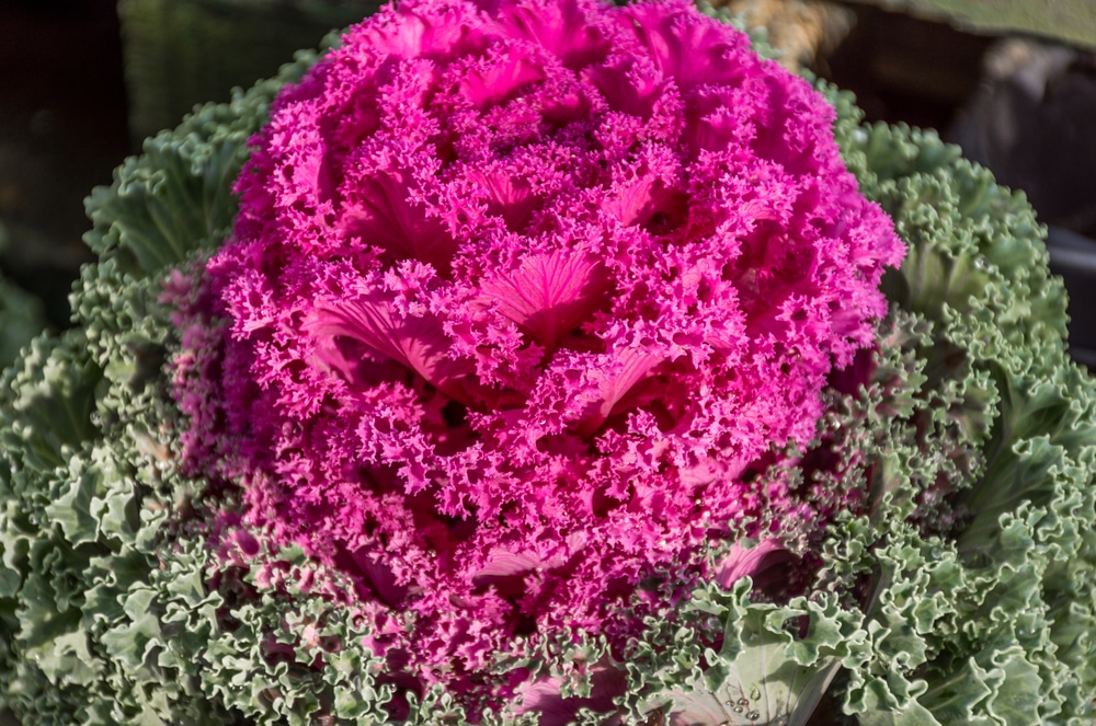 Is Ornamental Kale Edible Yes But Not That Tasty