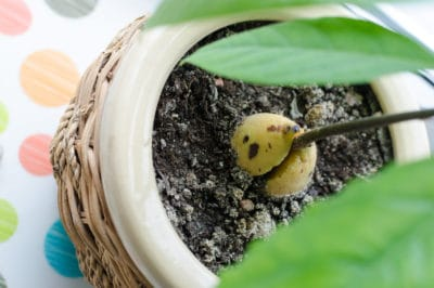 plant-avocado-seed