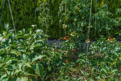 planting-eggplant-tomatoes-together