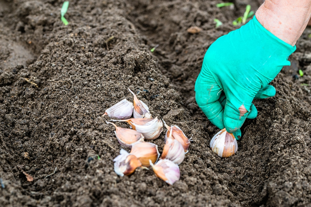 planting garlic in fall top tips for success. Black Bedroom Furniture Sets. Home Design Ideas