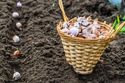 planting-garlic-spring