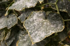 powdery-mildew-cucumbers