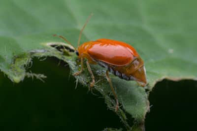 pumpkin-beetle