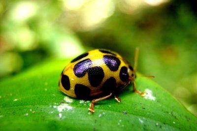 squash-beetle