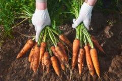 store-carrots-garden