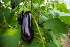 tall-eggplants-grow