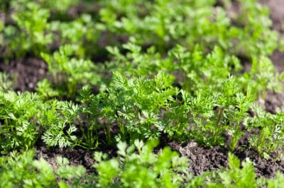 title-carrot-sprouts