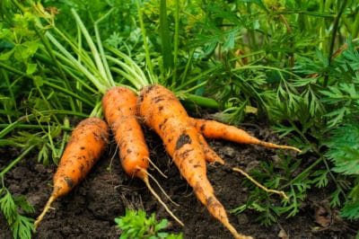 when-to-harvest-carrots