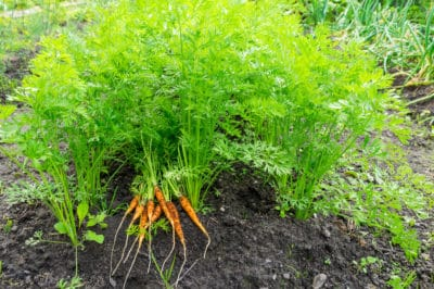 when-to-plant-carrots-2