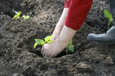 when-to-plant-eggplant