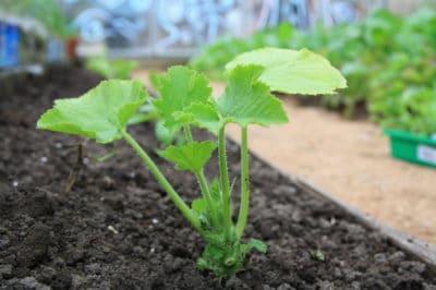 when-to-plant-zucchini