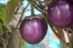 where-do-eggplants-grow