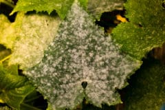 white-spots-cucumber-leaves