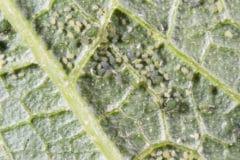 zucchini-bugs