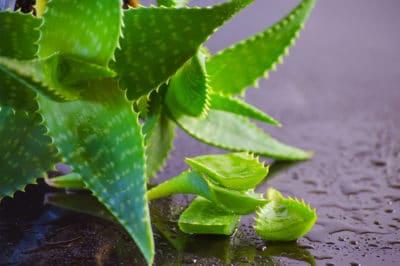 aloe-vera-plant-care