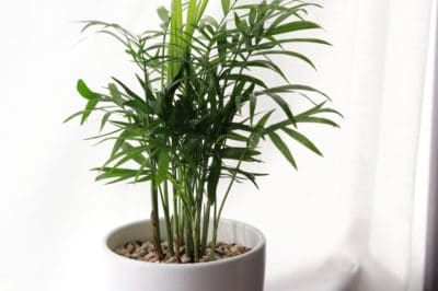 areca-palm-care