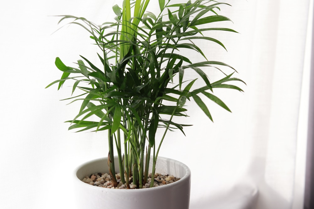 areca palm care top tips on growing like a champ. Black Bedroom Furniture Sets. Home Design Ideas