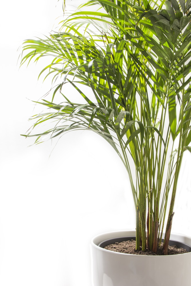 Areca Palms Indoors 187 Bring On The Light