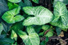 arrowhead-plant-care