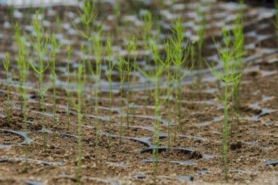 asparagus-seedlings