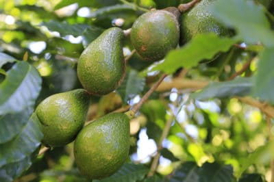 avocado-tree-diseases