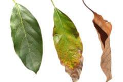avocado-tree-leaves-turning-brown