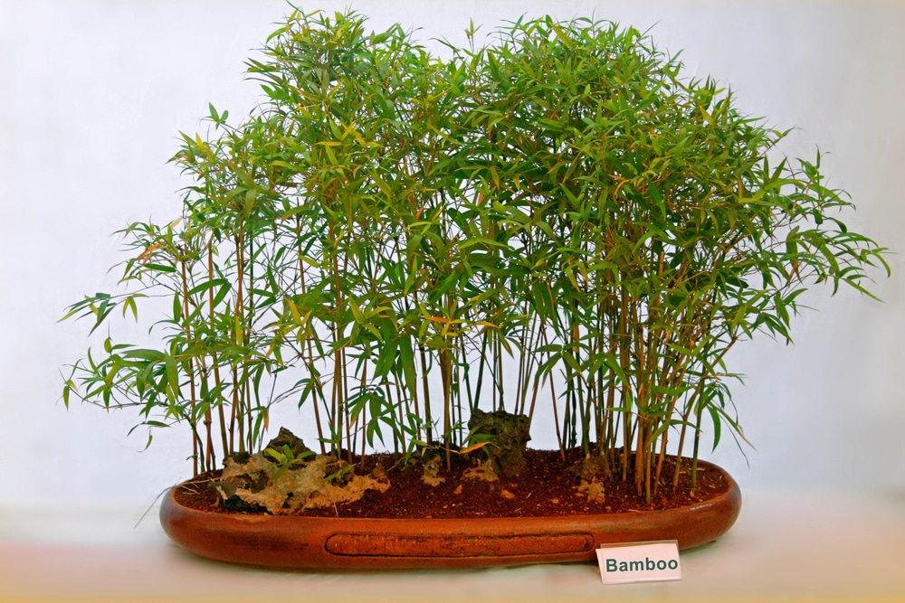 Bamboo House Plant Top Tips For Success