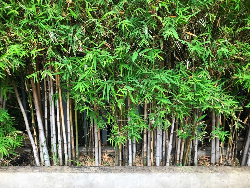 Bamboo Plant Care All The Top Tips