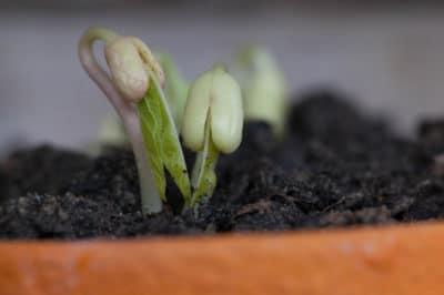bean-germination