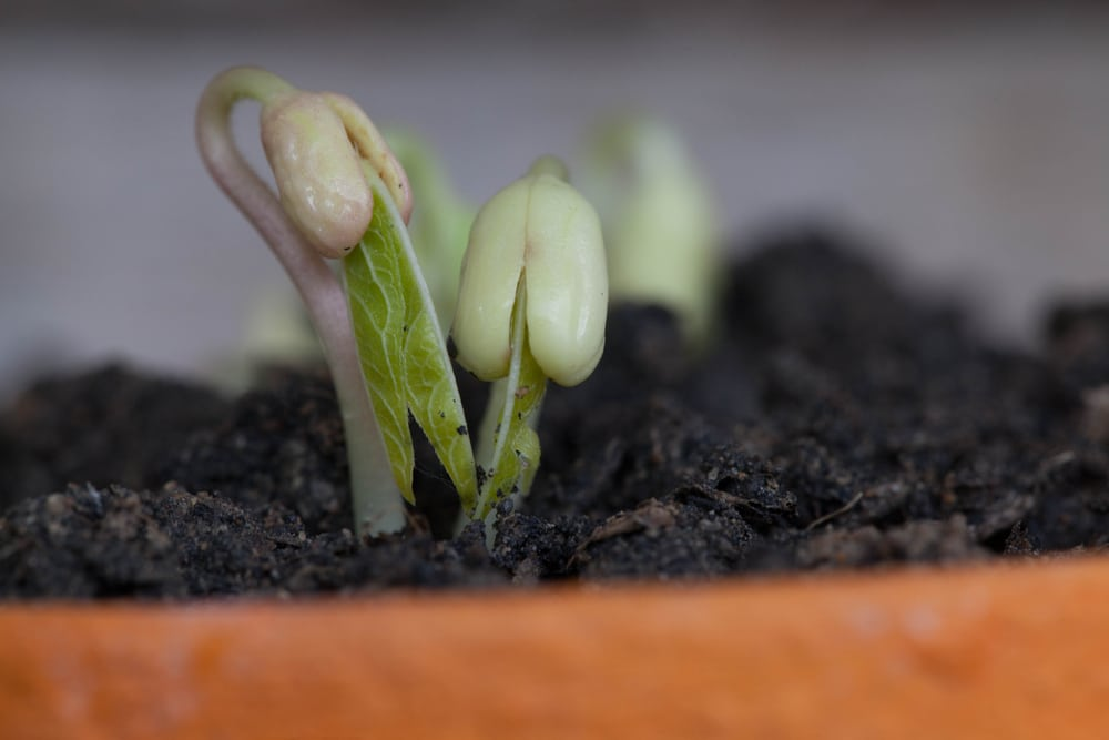 Bean Germination 187 Top Facts On Beginning Growth