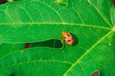 bean-leaf-beetle