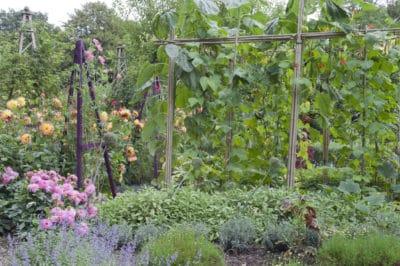 beans-companion-plants