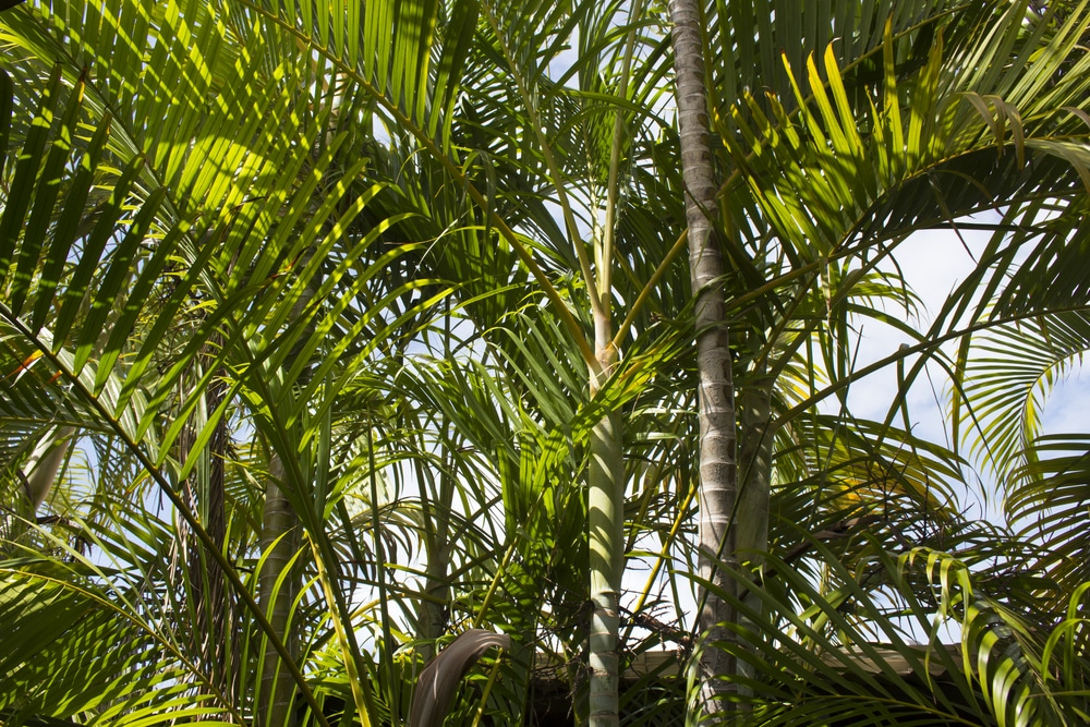 Best Fertilizer For Areca Palms