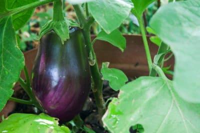 black-beauty-eggplant-growing
