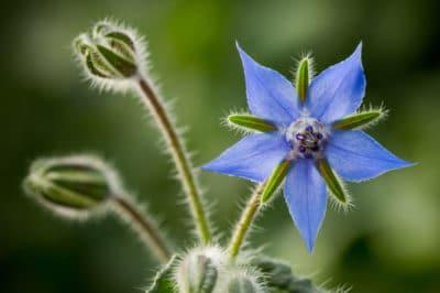 borage-flower