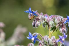 borage-uses