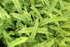 boston-fern-care