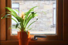 bromeliad-care-indoor