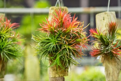 bromeliads-facts