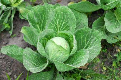cabbage-companion-plants