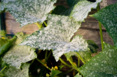 cucumber-leaves-turning-white